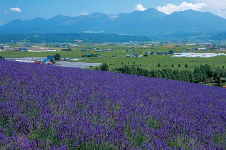 Furano Lavender Express